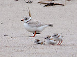 Piping Plover and Chicks