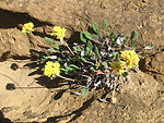 Yellow Wild Buckwheat