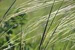 Porcupine Grass (Closeup)