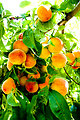 Fresh Peaches in Swat