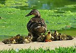Ducklings at Neosho National Fish Hatchery
