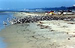 A large mixed-species flock of shore birds on a Gulf of Mexico beach.