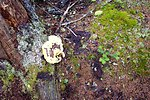 A yellow amorphous mushroom surrounded by light-green moss, dark green moss, and fallen branches.