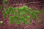 Round hummocky patches of moss about 3 to 4 inches in diameter cover the forest floor.