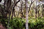 A surreal view of spanish moss covered trees and palmetto ground cover.
