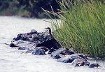Green heron in alert, ready-to-take-flight mode.