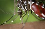 The proboscis of an Aedes albopictus mosquito feed