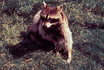 Raccoons can also be vectors of the rabies virus,