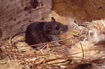 This image depicts a deer mouse, Peromyscus manicu