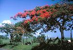 Flame tree and cows, Rio Grande, Puerto Rico.