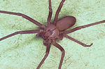 Brown recluse spider, Loxosceles reclusa.