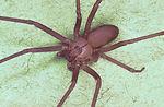 Brown recluse spider, Loxosceles reclusa.
