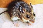 Deer mouse, Peromyscus maniculatus.