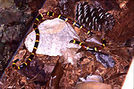 This was a 'Texas coral' snake, Micrurus tener ten
