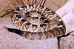 This is a 'northern black tailed' rattlesnake, Cro