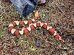 This 2005 image depicted a venomous 'broad banded'