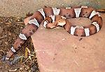 This 2005 image depicted a venomous 'trans-Pecos'