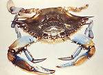Crabs have been a repeated source of cholera in th