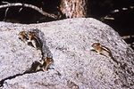 This image depicts several western chipmunks, Tami