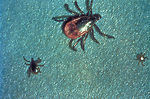 "These ""black-legged ticks"", Ixodes scapu"