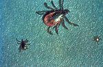 "These ""black-legged ticks"", Ixodes scapu"