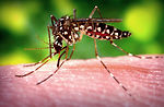This 2006 image depicted a female Aedes aegypti mo