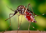 This 2006 image depicted a female Aedes aegypti as