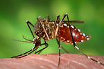 This 2006 photograph depicted a female Aedes aegyp