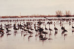 This 1976 image shows numerous Canadian geese that