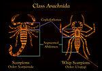 Both scorpions, Scorpionida, and whip scorpions, U