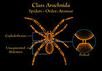 This illustration depicts the anatomic features fo