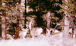These are mule deer, Odocoileus hemionus, the majo