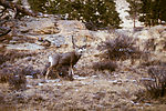 This mule deer, Odocoileus hemionus, is the major