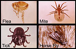 These four arthropods, a flea, mite, tick, and a h