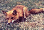 Foxes too, may be possible vectors of the rabies v