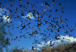 This horde of bats could contain possible carriers