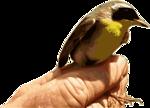 Yellowthroat Bird