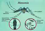 An illustration  of a typical Mansonia mosquito.