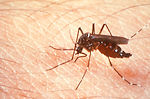 This photograph depicts a female Aedes aegypti mos