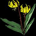 GG Erythronium grandiflorum