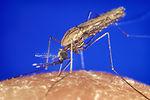 Anopheles gambiae mosquito feeding
