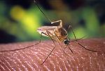 A Culex quinquefasciatus mosquito on a human finge