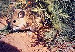 The White-throated Woodrat, Neotoma albigula, is a
