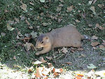 This prairie dog, a member of the genus Cynomys wa