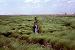 This 'Saltmeadow Cordgrass', Spartina patens, wate