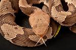 This 2008 photograph depicted a juvenile venomous