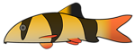 Clown Loach