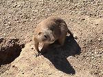 This prairie dog, a member of the genus Cynomys wa