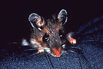 This photograph depicts a white-footed mouse, Pero