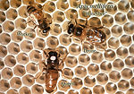 This image shows 3 honeybees, Apis mellifera; the